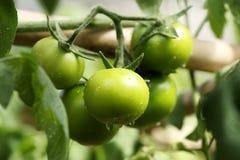 生长蕃茄 库存照片