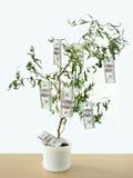 生长货币结构树 库存照片
