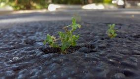 生长通过在路面的裂缝的绿色杂草特写镜头 图库摄影