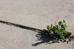 生长通过在边路的裂缝的杂草 库存图片