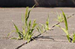 生长通过在水泥小路的镇压的绿色杂草在sunli 免版税库存照片