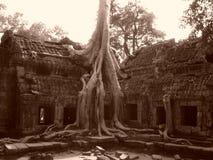 生长通过废墟的榕树 免版税库存照片