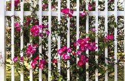 生长通过白色篱芭的生动的桃红色野生玫瑰 库存图片