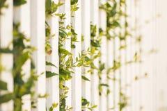 生长通过空白尖桩篱栅的绿色植物 免版税库存图片