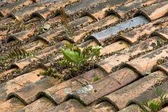 生长通过老赤土陶器瓦屋顶的蕨 免版税图库摄影