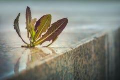 生长通过路面的尖刻的植物 免版税库存照片