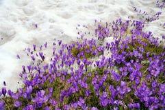 生长通过雪的番红花 免版税库存图片