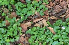生长通过死的叶子的地被植物 库存照片