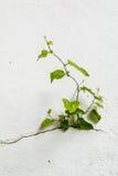 生长通过破裂的墙壁的树 小树在水泥墙壁上的成长期间 老膏药围住破裂的裂缝 杂草 免版税库存照片