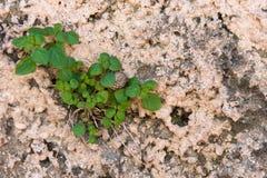 生长通过破裂的墙壁的植物 库存图片