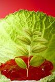 生长里面叶子的圆白菜 免版税库存照片