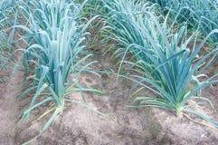 生长韭葱特写镜头在土壤的。 免版税图库摄影