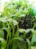 生长香菜在家 免版税库存图片