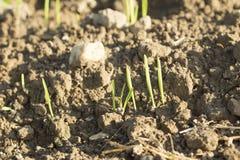 生长从与日落光的地球的新芽植物细节 免版税库存照片
