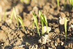 生长从与日落光的地球的新芽植物细节 图库摄影