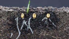 生长从土壤的麦子植物 股票视频