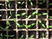 生长从在方形框的种子的绿色新芽 免版税库存照片