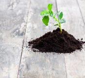 生长从在木桌上的土壤的植物 库存照片
