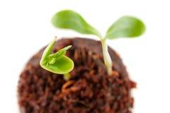生长从地球的二个绿色新芽 库存图片