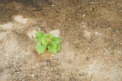 生长从在水泥地板上的一个小破裂的孔的年幼植物 免版税库存图片