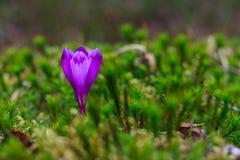 生长直接地从绿色青苔的狂放的番红花 免版税图库摄影