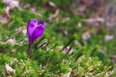 生长直接地从绿色青苔的狂放的番红花 免版税库存照片