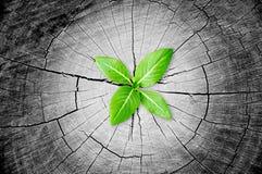 生长从树桩的小的绿色幼木 免版税图库摄影