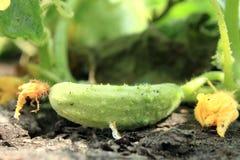 生长黄瓜在庭院里 免版税库存图片