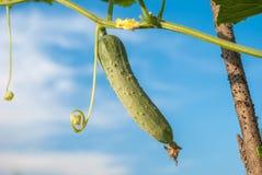 生长黄瓜在庭院里 免版税库存照片