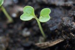 生长从种子的绿色新芽 库存照片