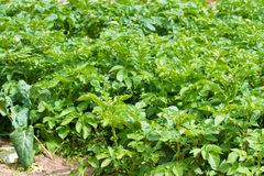 生长绿色土豆 免版税图库摄影