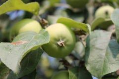 生长绿色苹果 库存图片