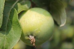 生长绿色苹果 免版税库存图片