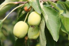 生长绿色苹果 库存照片