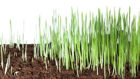 生长绿草植物4k时间间隔 影视素材
