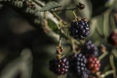 生长blackberry& x27; s在庭院、叶子和分支里 库存图片