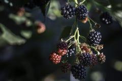 生长blackberry& x27; s在庭院、叶子和分支里 图库摄影