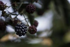 生长blackberry& x27; s在庭院、叶子和分支里 库存照片