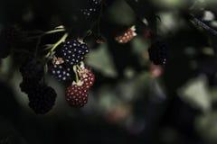 生长blackberry& x27; s在庭院、叶子和分支里 免版税库存图片