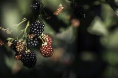 生长blackberry& x27; s在庭院、叶子和分支里 免版税库存照片