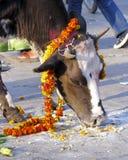 用万寿菊装饰的母牛 免版税库存图片