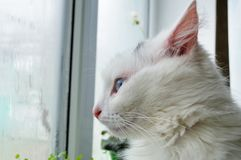用不同的眼睛的一只白色猫在一个夏天早晨;Ð ` ÐΜД а 库存照片