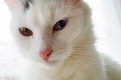 用不同的眼睛的一只白色猫在一个夏天早晨 库存图片