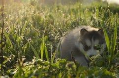 用不同的眼睛的多壳的小狗在草掩藏了 库存图片