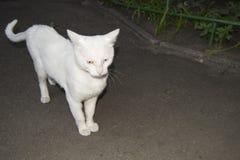 用不同的眼睛的猫 库存图片