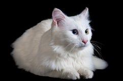 用不同的眼睛的美丽的蓬松白色猫 免版税库存照片