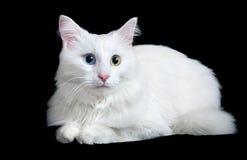 用不同的眼睛的美丽的蓬松白色猫 图库摄影