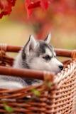 用不同的眼睛的西伯利亚爱斯基摩人小狗 库存图片