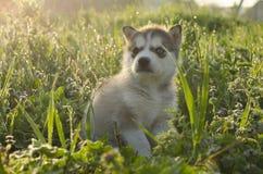用不同的眼睛的骄傲的多壳的小狗 免版税库存图片