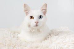 用不同的色的眼睛的白色猫 免版税库存图片